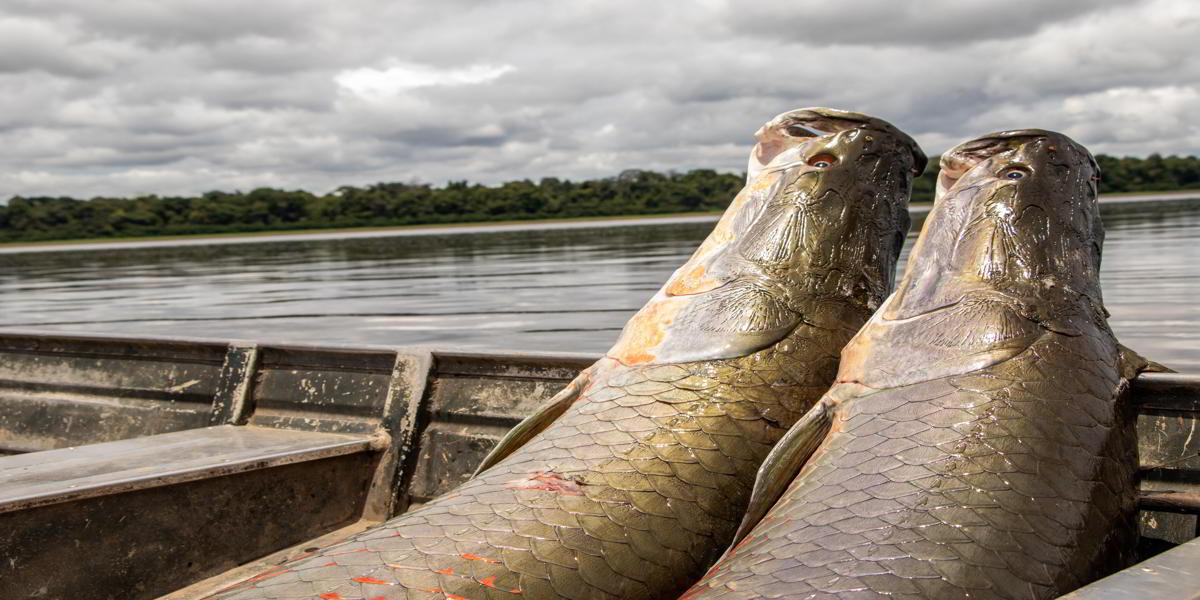 Em 2019, manejo de pirarucu teve aumento de 26% na produção de pescado
