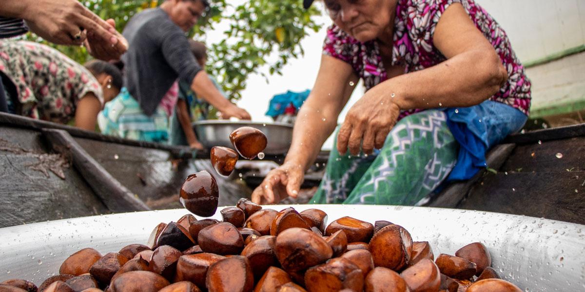 Óleo de andiroba é alternativa de renda para comunidades ribeirinhas da Amazônia