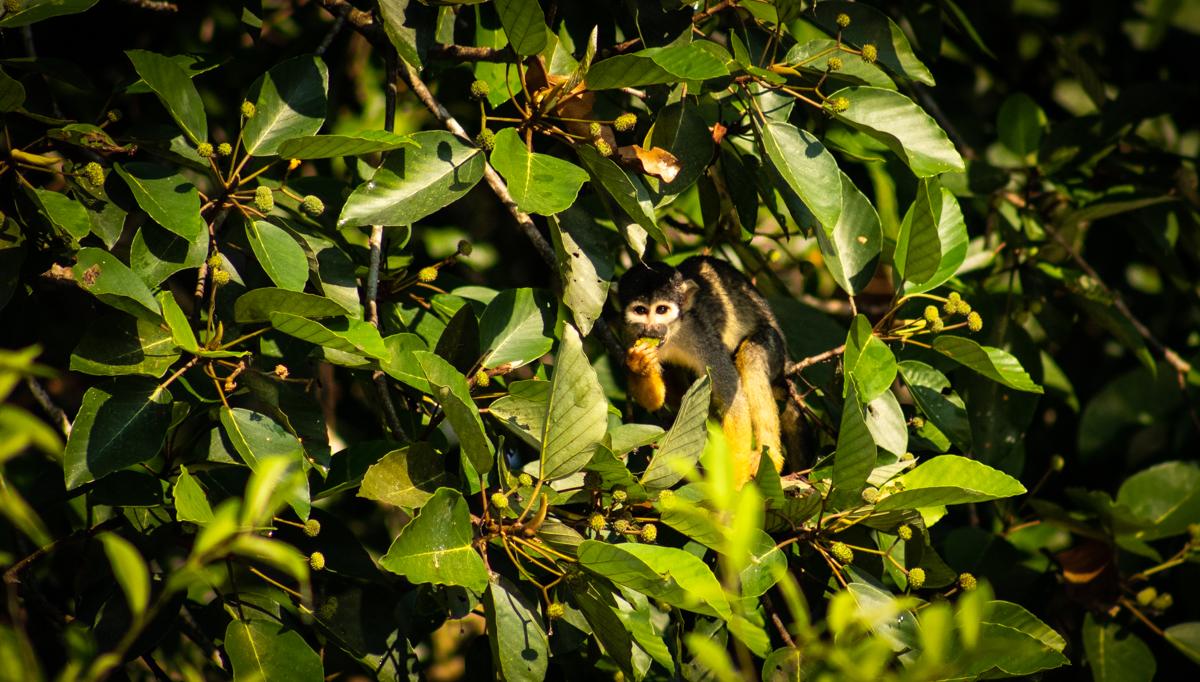 Macaco-de-cheiro-da-cabeça-preta pode ser extinto nos próximos 40 anos, mostra pesquisa