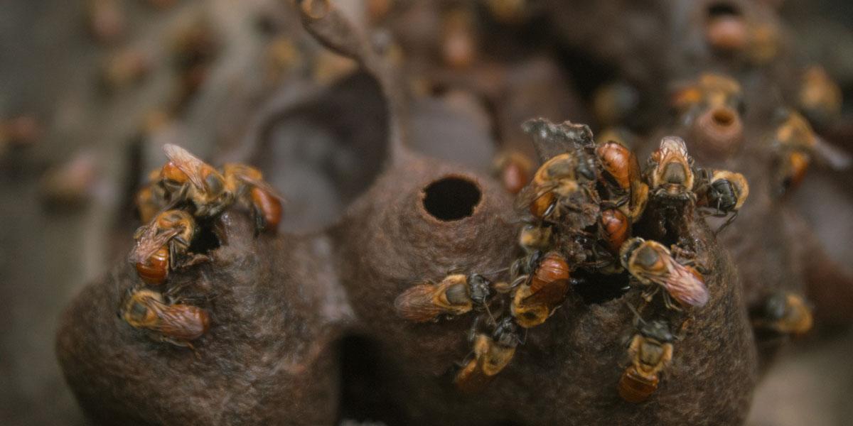 Três motivos para começar a criar abelhas nativas sem ferrão