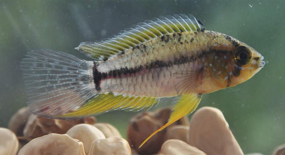 Pesquisadores do Instituto Mamirauá descobrem características reprodutivas do peixe ciclídeo anão