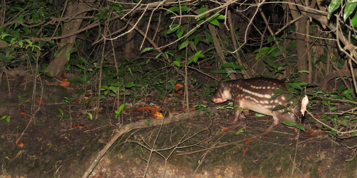 Pesquisadores realizam ações pelo manejo sustentável de roedor da Amazônia