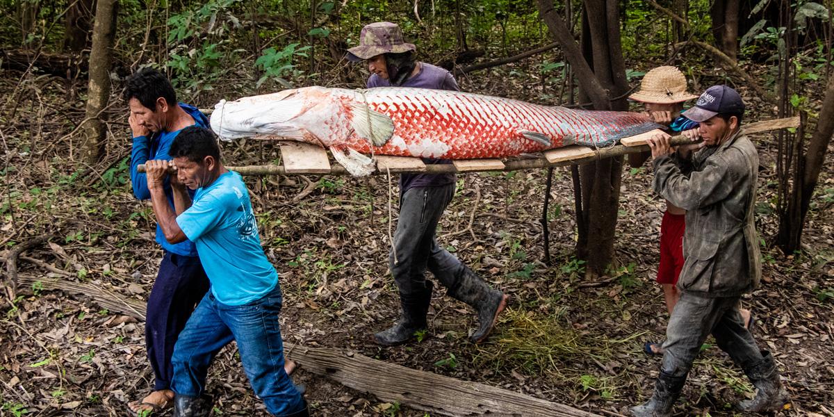 Em curso, Instituto Mamirauá compartilha experiência do manejo de pirarucu na Amazônia