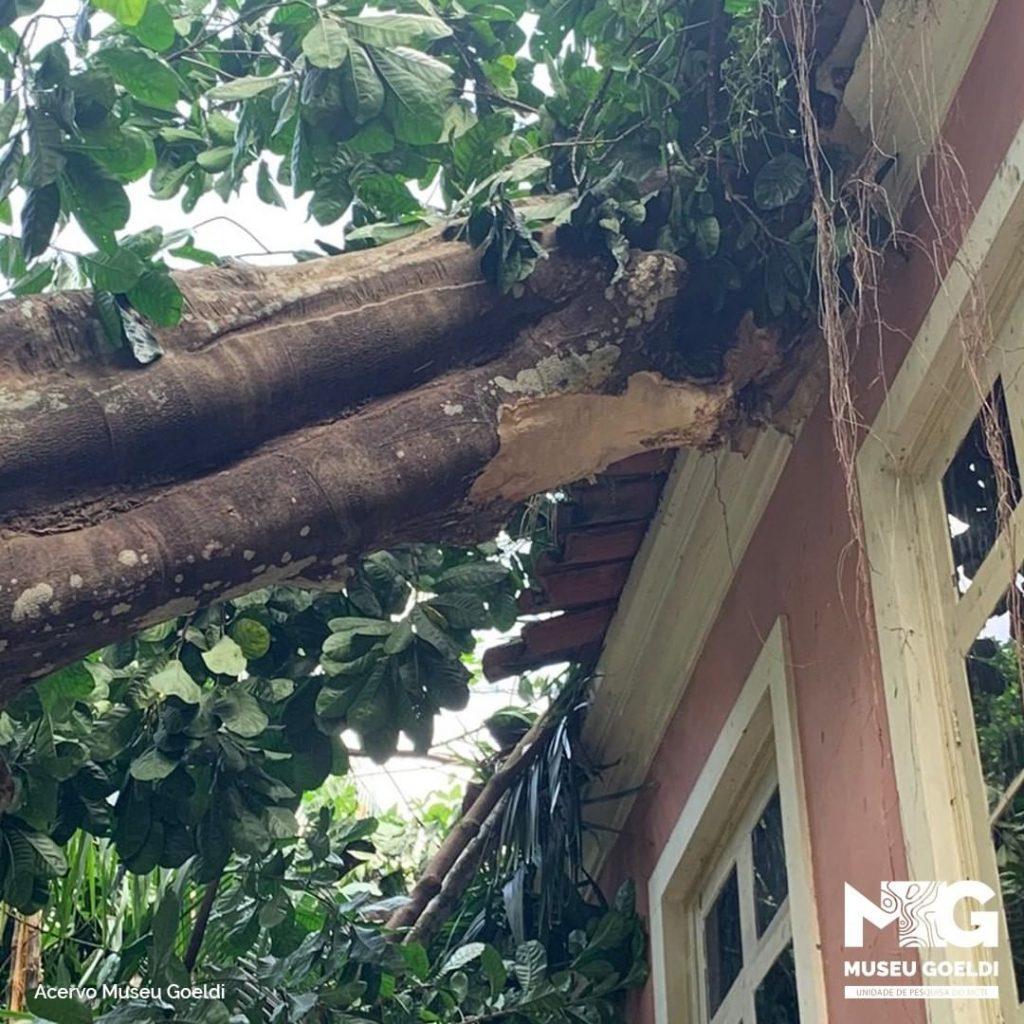 Árvore centenária desaba sobre Museu Emílio Goeldi
