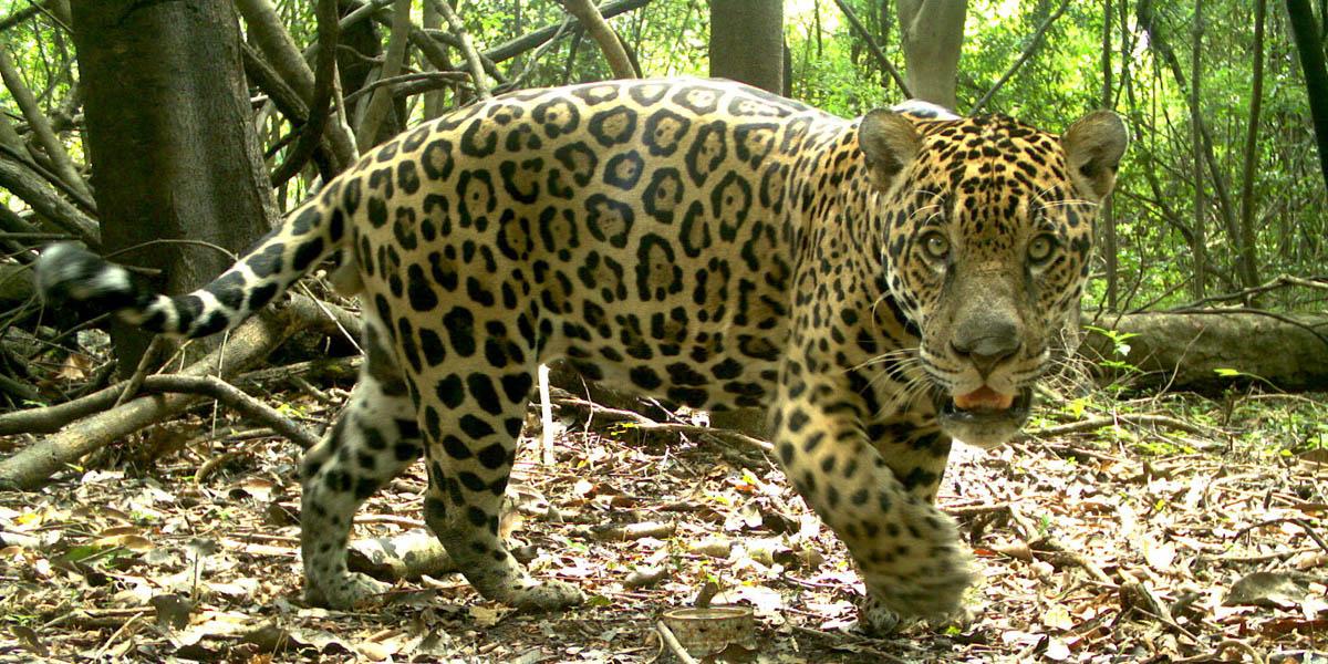 Instituições irão avaliar impactos de mudanças climáticas e de novas políticas ambientais na conservação da onça-pintada na Amazônia