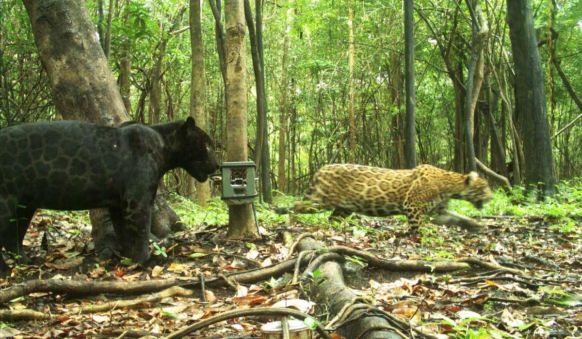 No Dia Nacional da Onça-pintada, entenda como armadilhas fotográficas podem ajudar na conservação da espécie