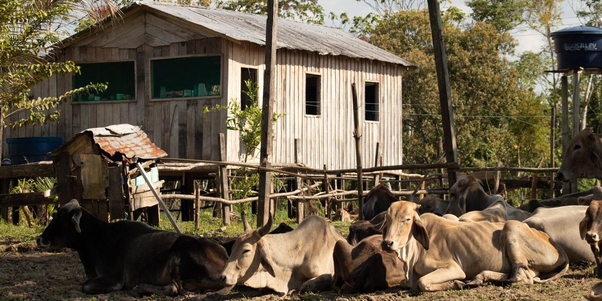 Manejo de gado na Amazônia será apresentado em fórum na Alemanha